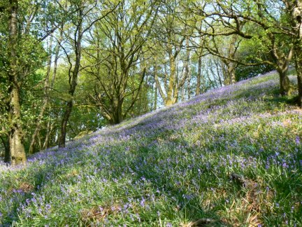 A beautiful display of bluebells in Littledale