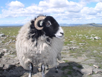 One of the pesky sheep on Ingleborough
