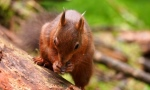 One of the Snaizeholme red squirrels