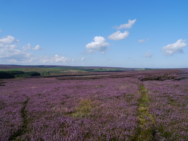 The purple heather of Howl Moor