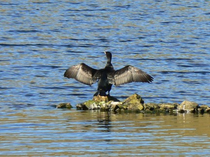 A cormorant on Glencorse Reservoir